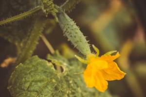 Augurk aan plant